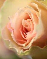 Rose for a rose standard