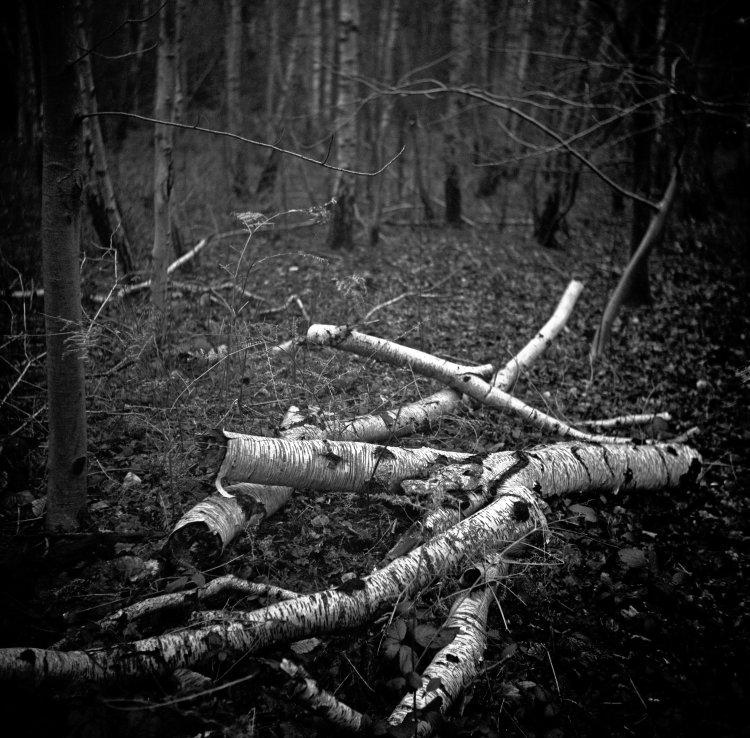 Gloaming Birch