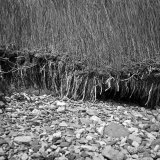 Reed bed at shore line