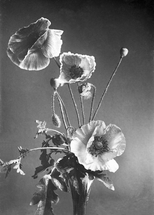 Poppies c.1905