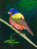 South American Painted Bunting Bird