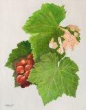 Original Grapes Study
