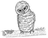 Osawald the baby owl