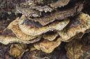 Detail of Bracket Fungus