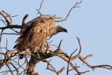 White backed vulture (Gyps africanus)