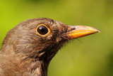 Close up of female blackbird
