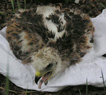 A Red Kite chick taken from the nest to be ringed and wing-tagged.