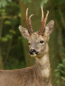 Roe Deer - Male