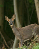 Roe Deer - Female