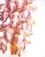 Barlia 2 Robert's Giant Orchid