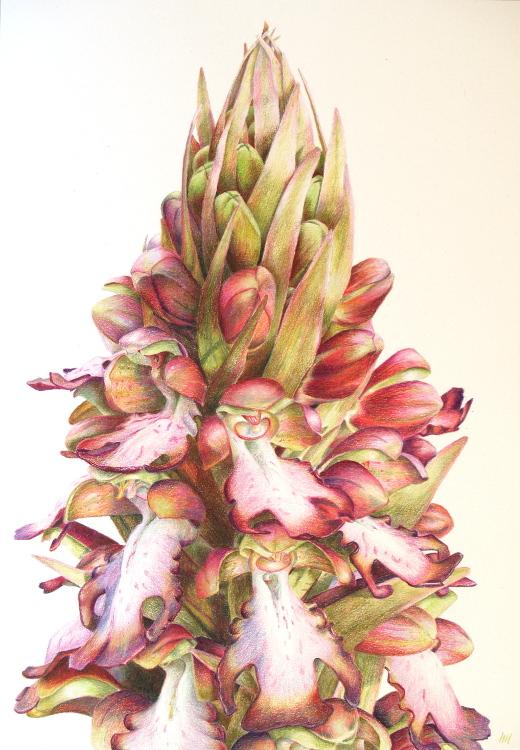 Barlia Orchid 26 x 37cm