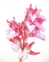 Helen Ainsworth, Orchis Papilionarea, 22.5 x 27.8