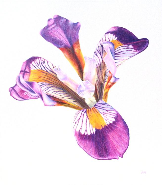 Iris Cretensis. 25.7 x 29.2cm