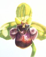 Ophrys Bombiflora 34 x 27cm