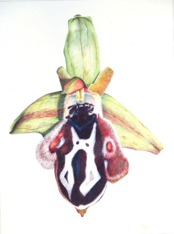 Ophrys Cretica 24 x 32cm