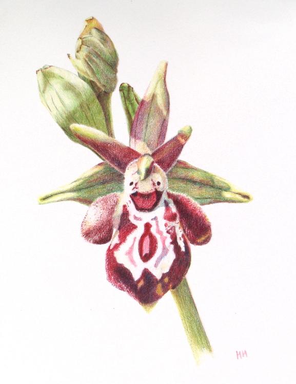 Ophrys Cretica ssp Ariadne 18.5 x 25cm