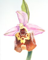 Ophrys Episcopalis 26 x 35cm
