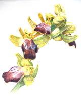 Ophrys Fusca, Creberrima 27 x 36cm