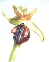 Ophrys Grammica