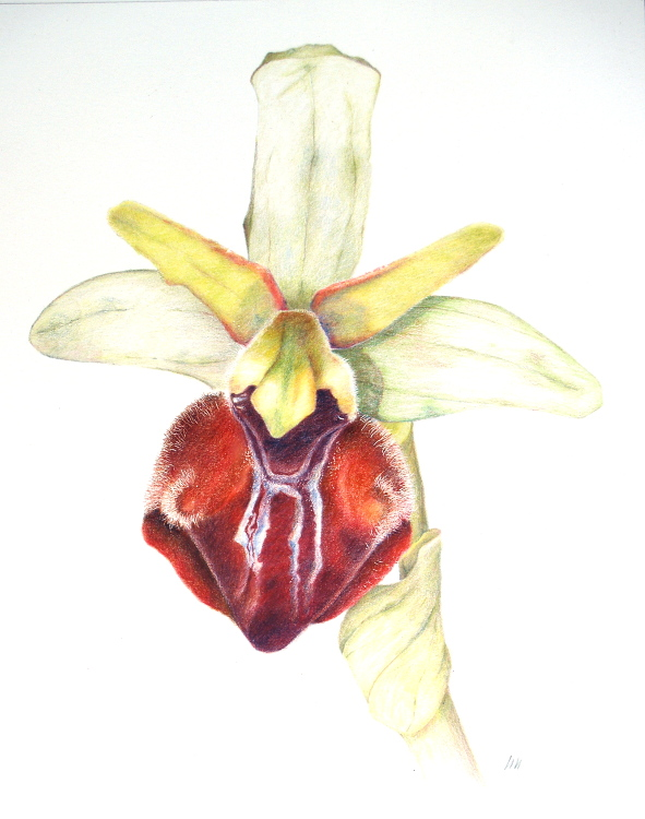 Ophrys Herae 26.5 x 33.5cm