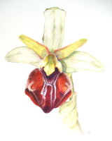 Ophrys Herae 26.5 x 33.5cm