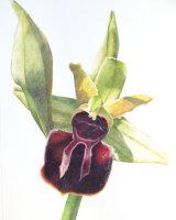Ophrys Spegodes ssp Cretensis 26 x 36 cm