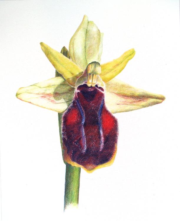 Ophrys Spegodes ssp Gortynia 25 x 31cm
