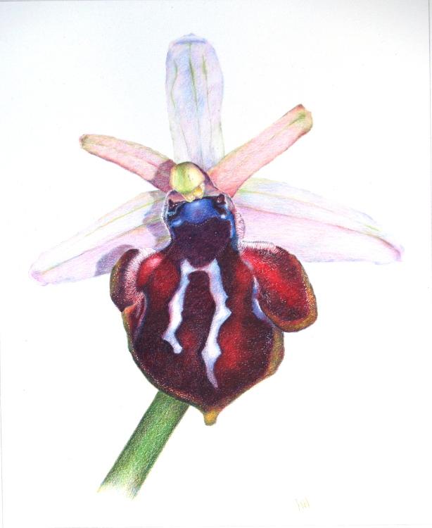 Ophrys Spuneri, Grigorian Orchid