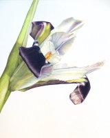 Widow or Snake's Head Iris. 26.3 x 30.6cm