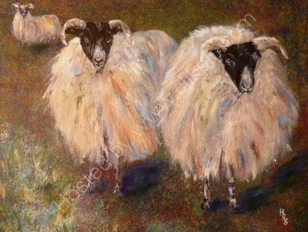 SCOTTISH BLACK FACED SHEEP