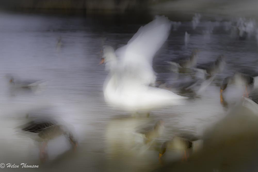 09673 'Swan Princess'