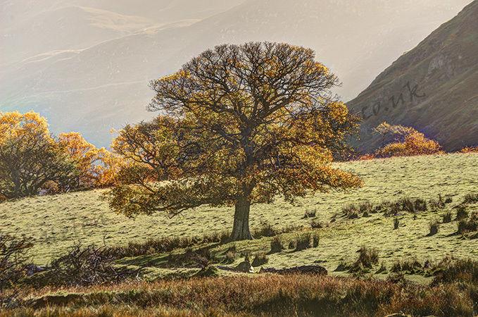 Autumn Tree at Crummock