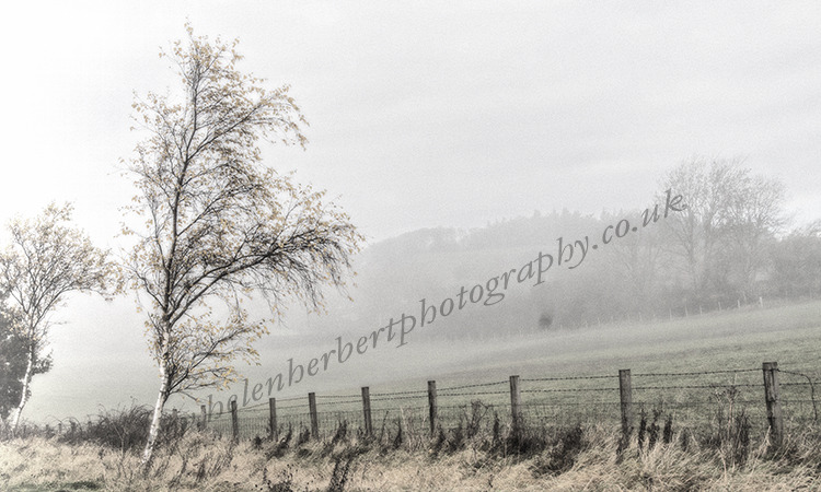 Silver Birch in the Mist