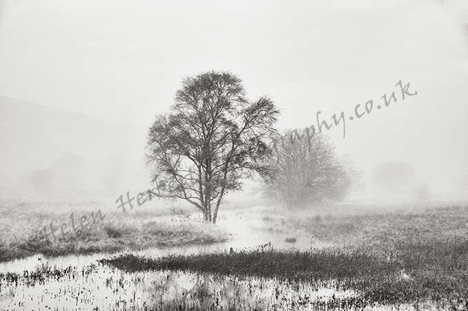 Trees in the Mist (6)