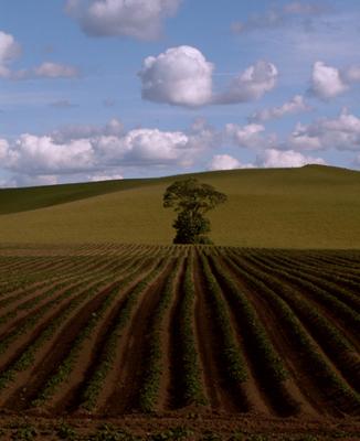 Tree in a Potato Field
