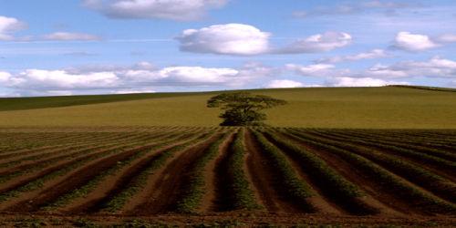Tree in a potato field - wide format