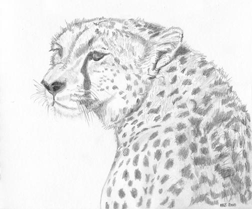 Cheetah, Masai Mara.