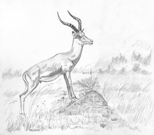 Pencil Drawing of an Impala.