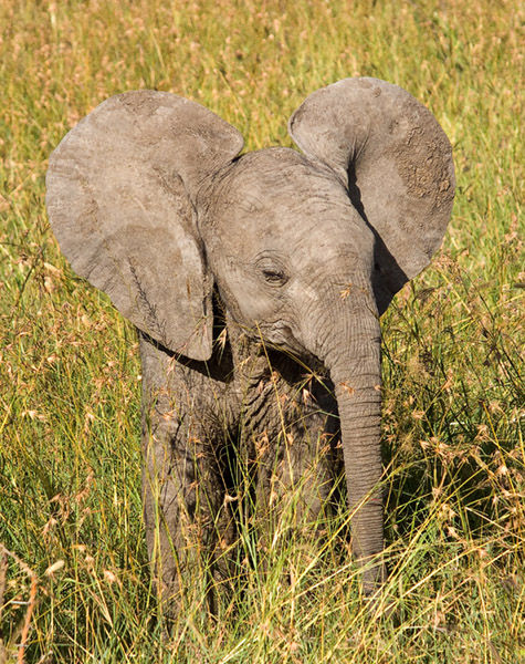 Baby 'Dumbo'