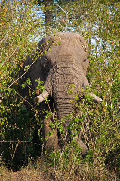A Large Bull Elephant.