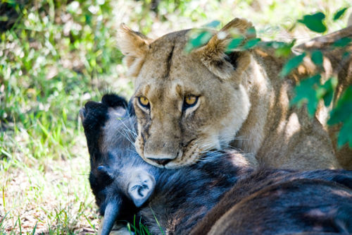 Lioness with her kill.