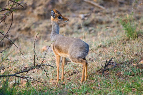 The Shy 'Dik-Dik'