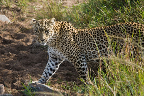 The Leopard slinks away.