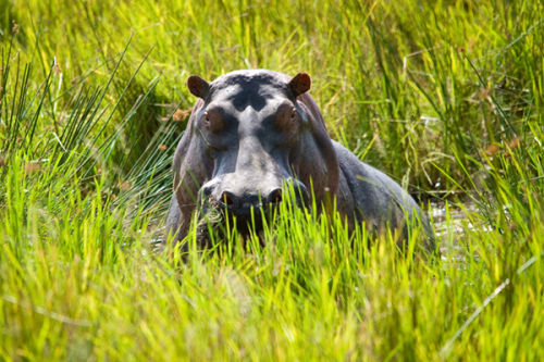 Hippo in a swamp.