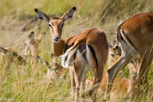Thompsons Gazelles.