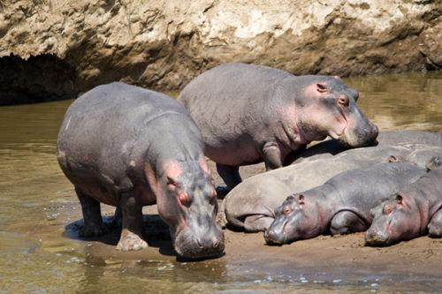 Hippos basking in the sunshine.