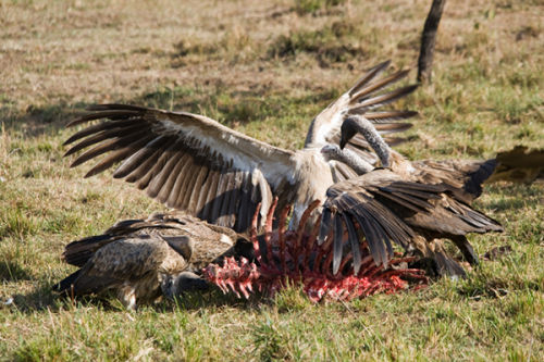 Vultures clean up.