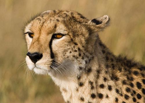 Portrait of a Cheetah.