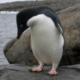 MH00402 Adelie Penguin RS