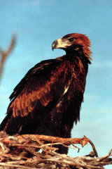 MH0111 Wedge-tailed Eagle RS